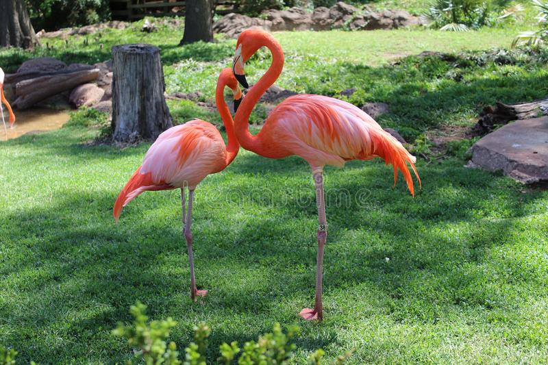 American flamingos. In the Oklahoma City Zoo royalty free stock image