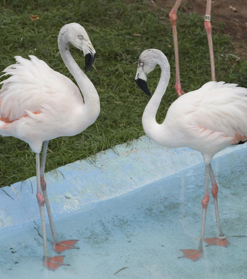 American Flamingos. Two American flamingos in a pool royalty free stock images