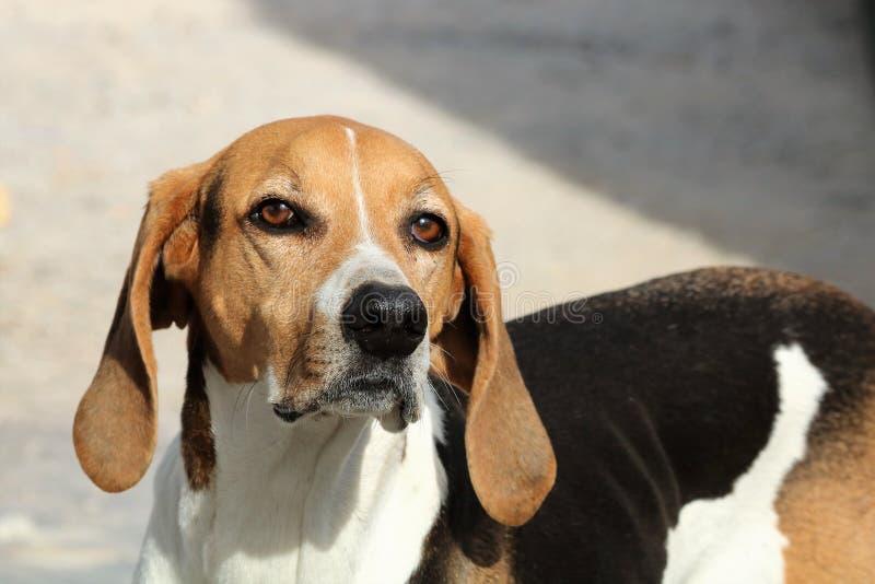 American Foxhound-Nahaufnahme stockfoto