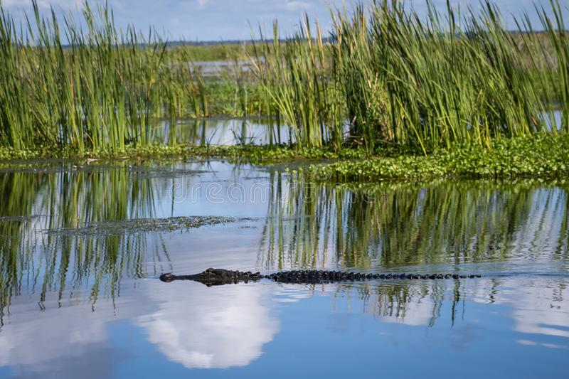 American gator on lake w/sky reflection. American gator Alligator lake sky reflection reptile wild wildlife hunt freshwater wetlands swamps rivers marshes stock image