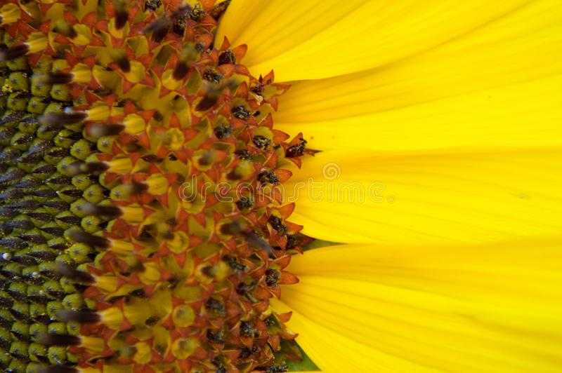 American Giant Sunflower center petals macro. American Giant Sunflower, Helianthus. Bright yellow petals. Popular garden flower. Grows eight 8 to fifteen 15 feet royalty free stock image