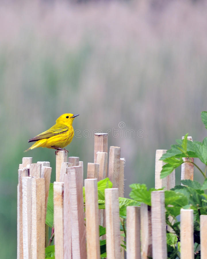 Free American Gold Finch Stock Photo - 14917820