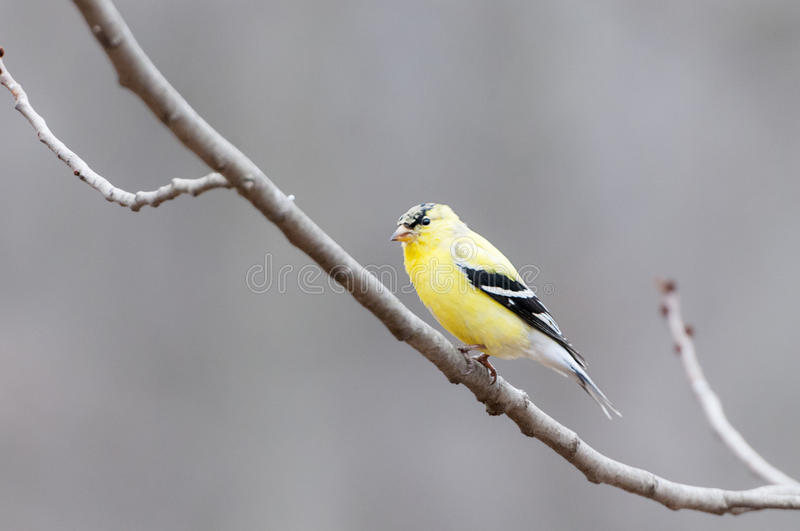 Download American Gold finch stock photo. Image of north, gold - 40016830