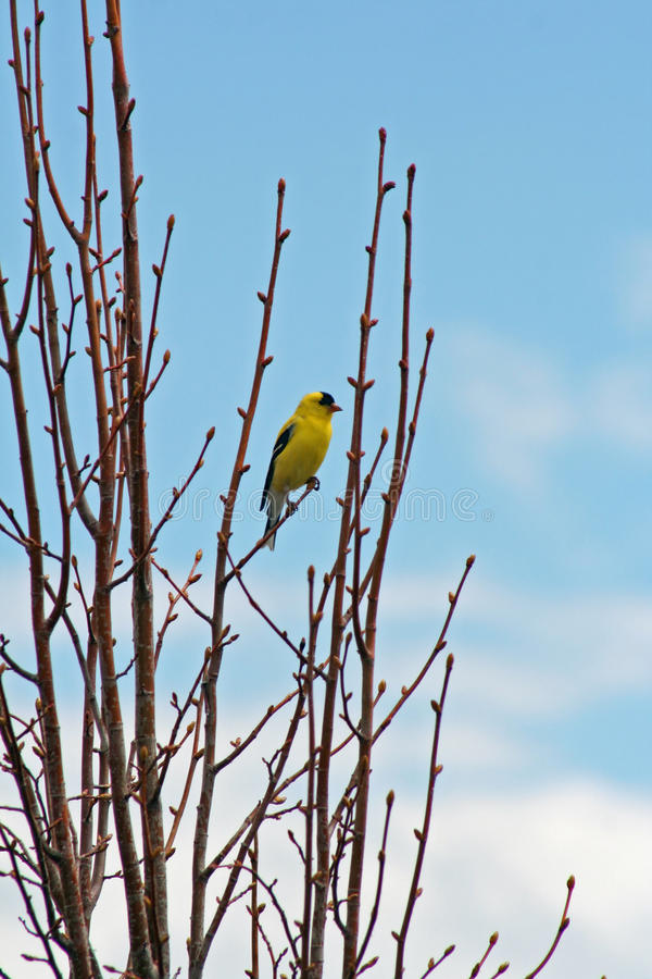 Download American Goldfinch stock photo. Image of passeriformes - 14124184