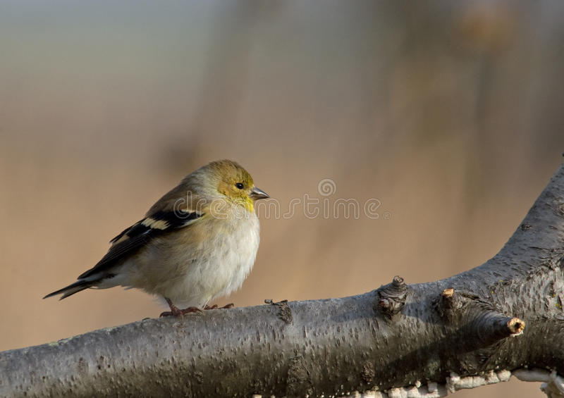 American Goldfinch. Photograph of an American Goldfinch, Carduelis pinus, in winter plumage coming in to a bird feeding station garden in Wisconsin stock photos