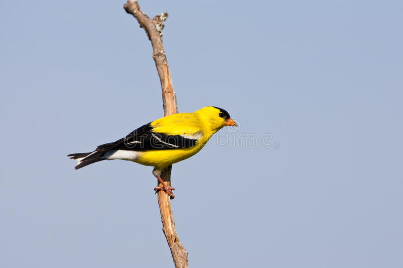 Download American Goldfinch stock image. Image of american, perch - 17605805