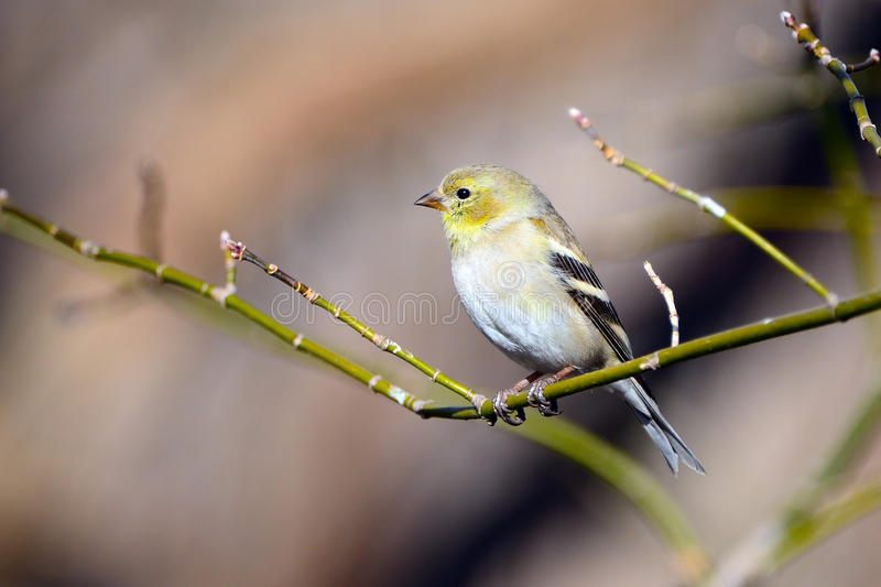 American Goldfinch. Perched On Branch royalty free stock photography