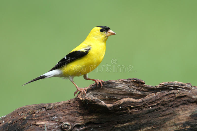 Download American Goldfinch stock photo. Image of birds, nature - 21083044