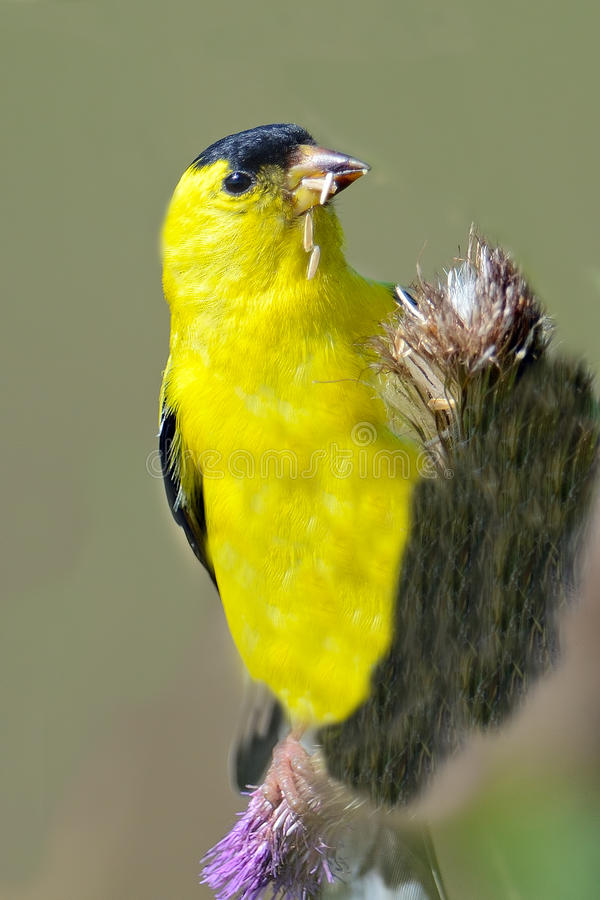 American Goldfinch stock photos