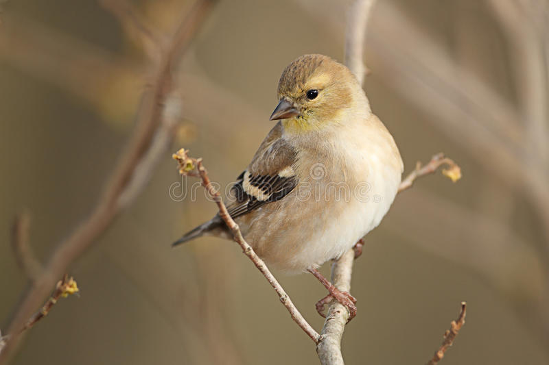 Download American Goldfinch In Autumn Plumage Stock Photo - Image: 28385496