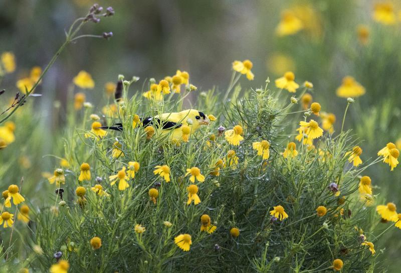 American Goldfinch bird eating seeds in Helenium suflowers. Bright yellow American Goldfinch songbird perched in golden Helenium sunflowers in a meadow in royalty free stock photo