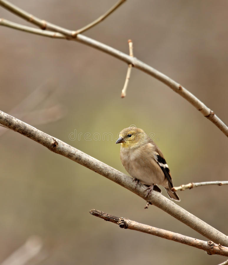 Download American Goldfinch (Carduelis Tristis) Stock Image - Image: 12036375
