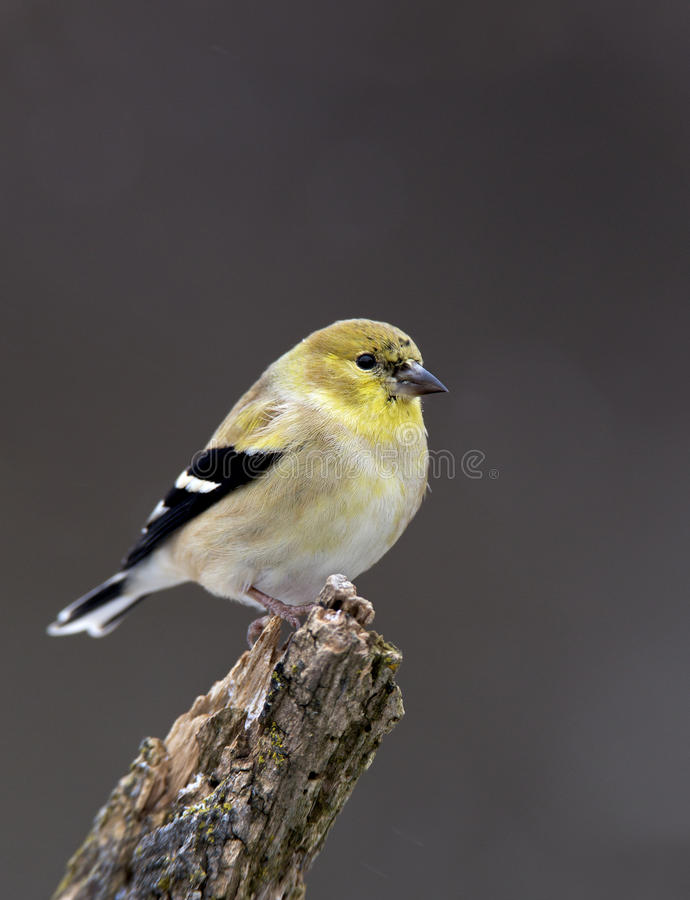 Download American Goldfinch (Carduelis Tristis) Stock Image - Image: 28686969