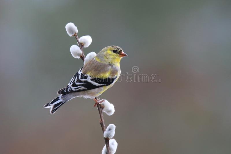 Springtime Goldfinch. An American Goldfinch Carduelis tristis perching on willow in the early Spring. The springtime molt to a brighter yellow plumage is just stock photography
