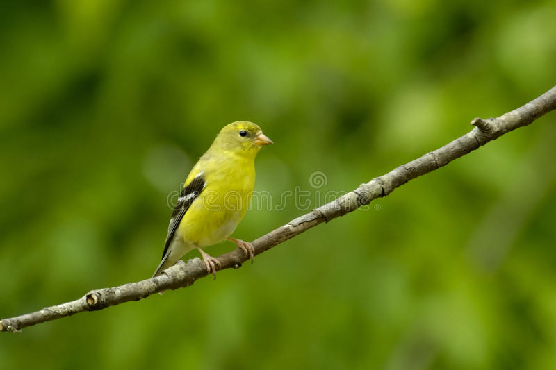 American Goldfinch Carduelis tristus Female. An American Goldfinch female Carduelis tristus displays her pretty breeding plumage on a cherry tree limb in stock photography