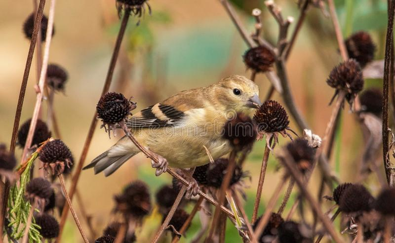 American Goldfinch eating the flower seeds royalty free stock images