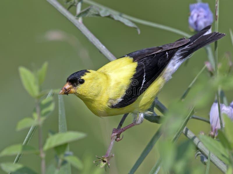American Goldfinch Feeding stock photo