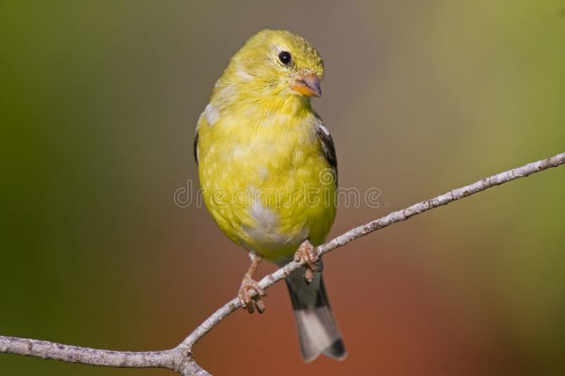 American Goldfinch Female. A Goldfinch female perches on a branch royalty free stock images