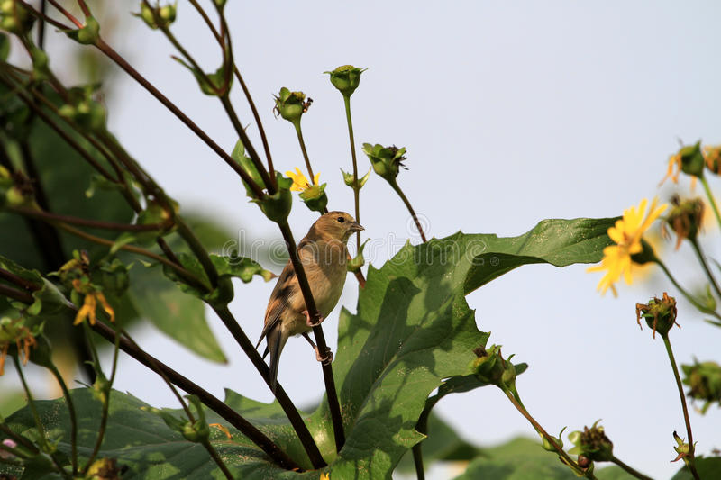 American Goldfinch female. Feeding on sunflowers royalty free stock images