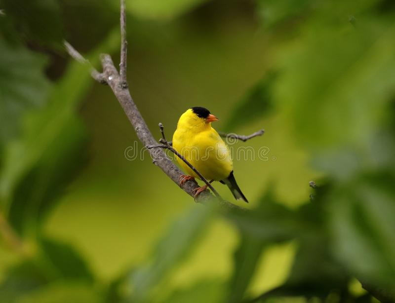 American Goldfinch in Minnesota stock image
