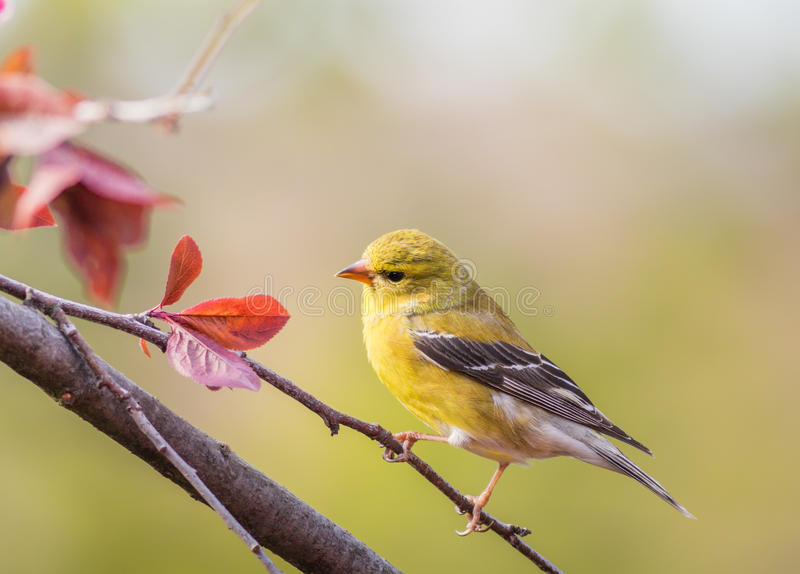 American Goldfinch Spinus Tristis female royalty free stock photography