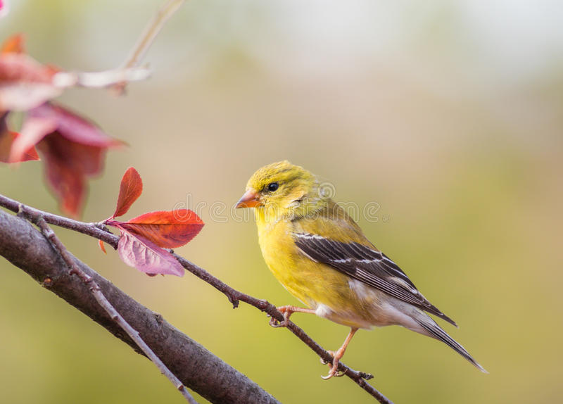 American Goldfinch Spinus Tristis female perched. On plum tree branch royalty free stock images
