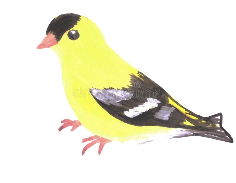 American goldfinch or Spinus tristis isolated on white.  royalty free illustration