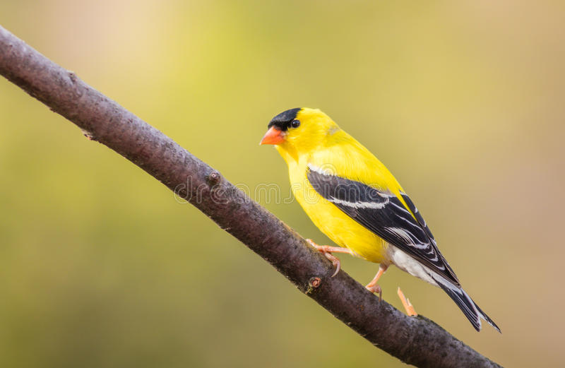 American Goldfinch Spinus Tristis male perched royalty free stock image