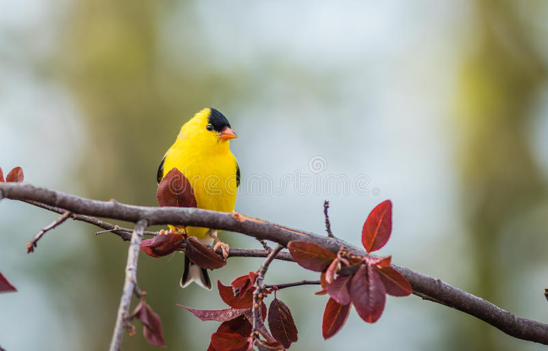 American Goldfinch Spinus Tristis male royalty free stock images
