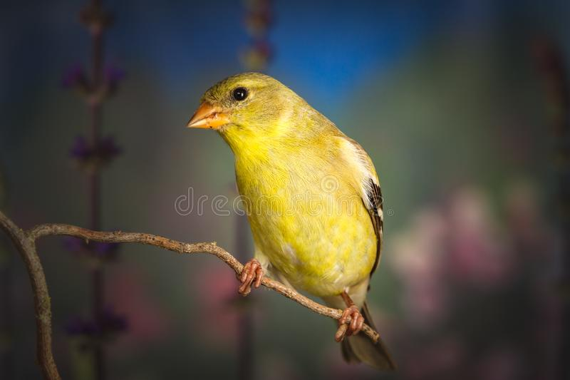 American goldfinch standing on twig. A close up shot of American goldfinch standing on twig stock image