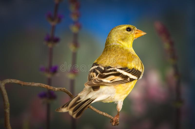 American goldfinch standing on twig. A close up shot of American goldfinch standing on twig stock images