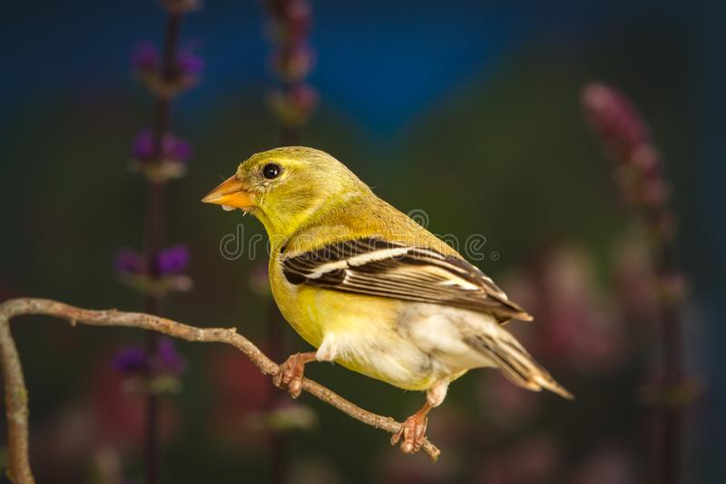 American goldfinch standing on twig. A close up shot of American goldfinch standing on twig royalty free stock images