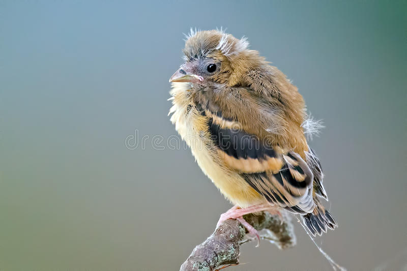 American Goldfinch stock image
