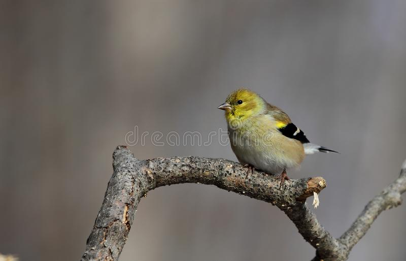 American Goldfinch. With winter plumage stock photography
