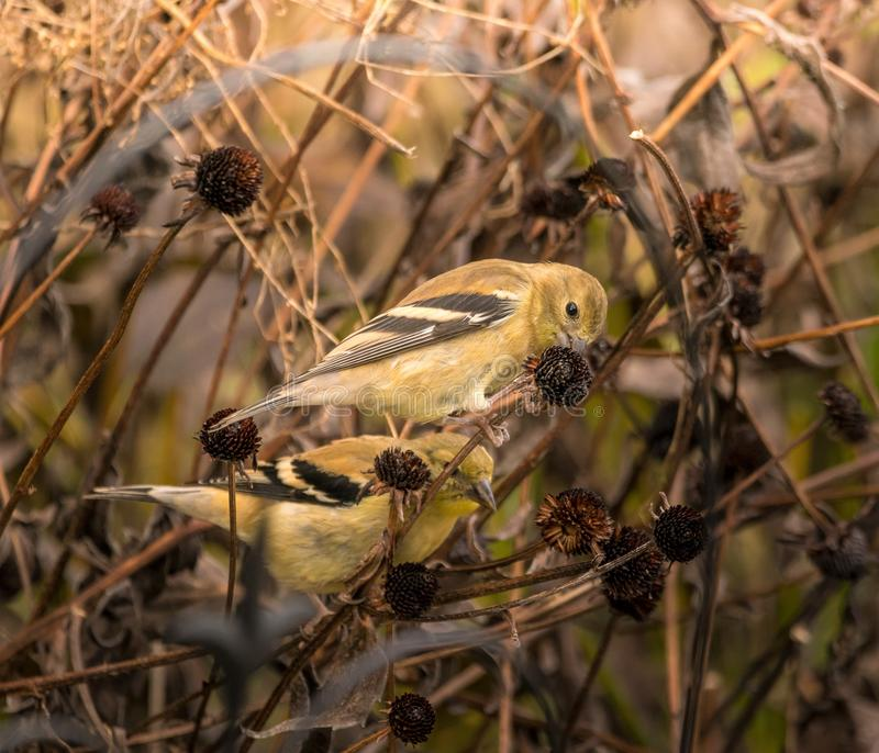 Two American Goldfinches on a vine. American Goldfinches are in the flowerbed eating some old dried out Black Eyed Susan`s. The Goldfinches can be seen on a royalty free stock photos