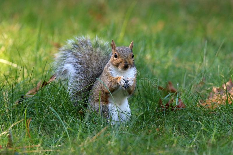 American Gray Squirrel in Fall out Foraging for Food royalty free stock photos