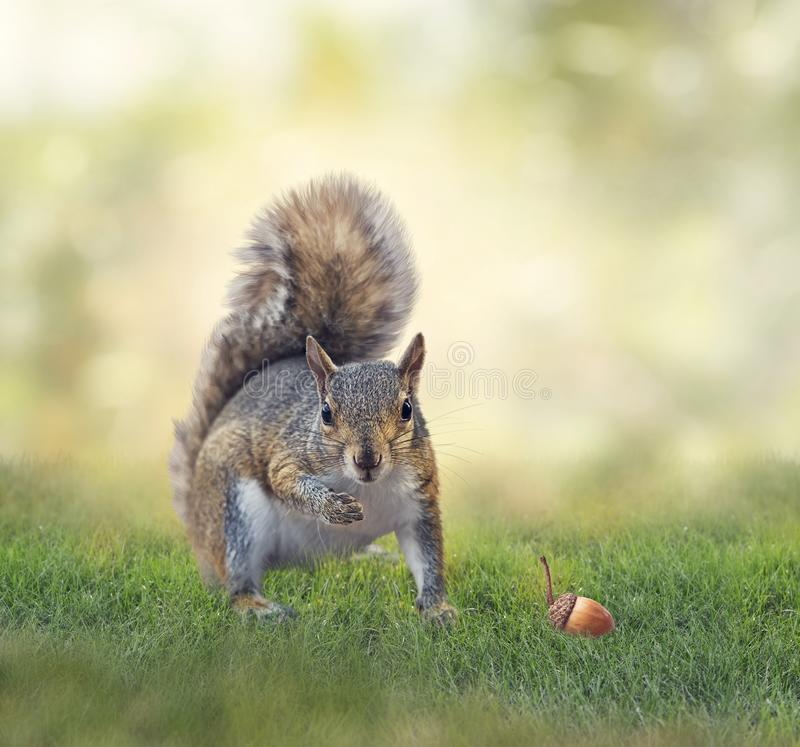 American gray squirrel on grass stock photography