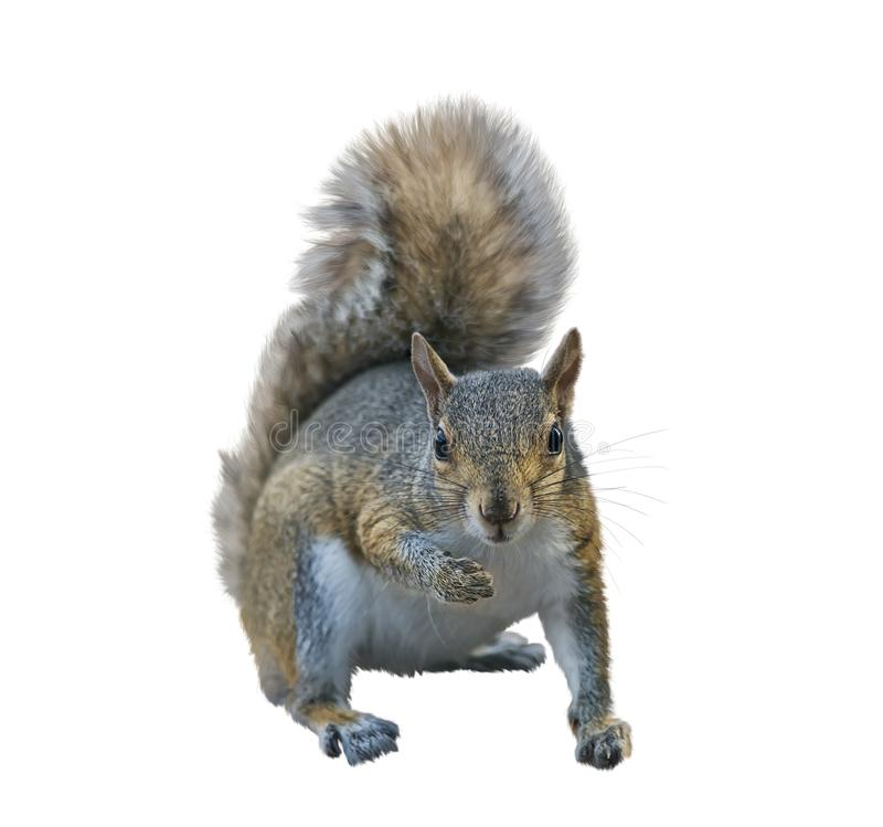 American gray squirrel on white background stock photo
