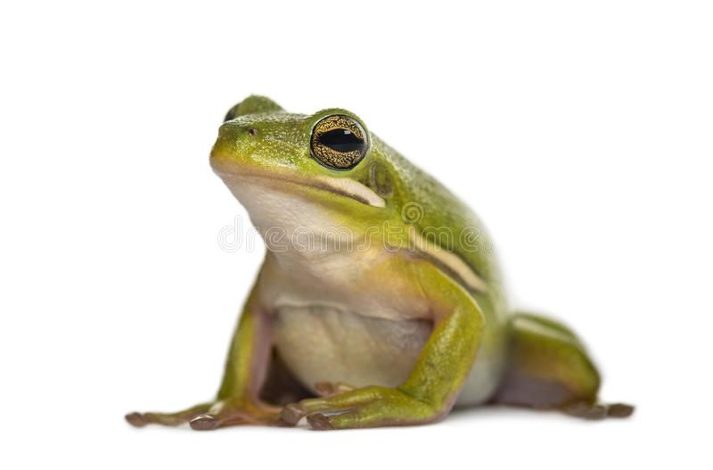 American green tree frog, royalty free stock images