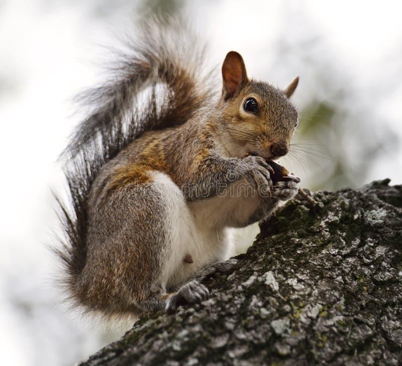 American Grey Squirrel royalty free stock photos
