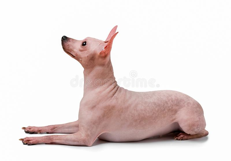 American Hairless Terrier dog lying down isolated on white background royalty free stock image