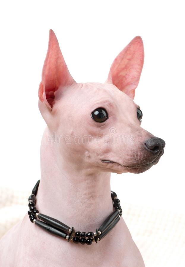 American Hairless Terrier dog portrait close-up with black choker isolated on white background stock photos