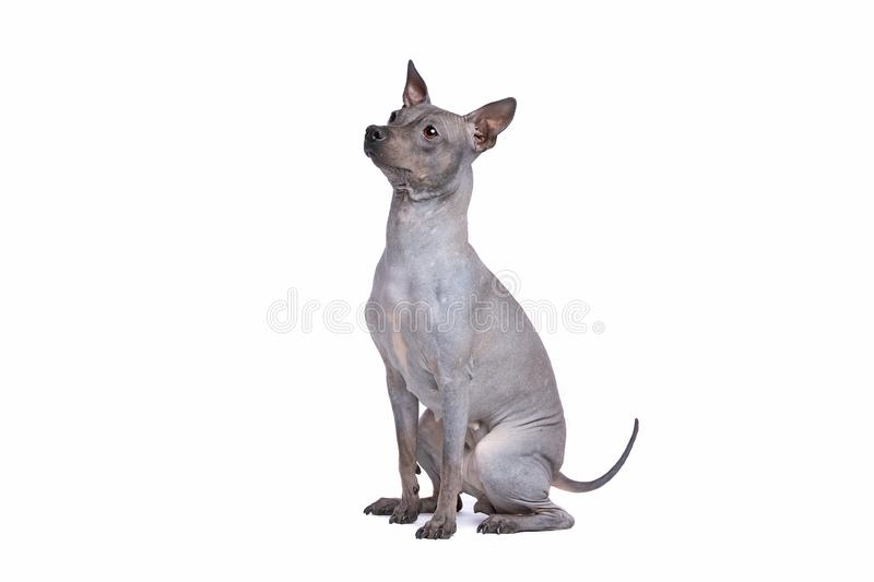 American Hairless Terrier royalty free stock images
