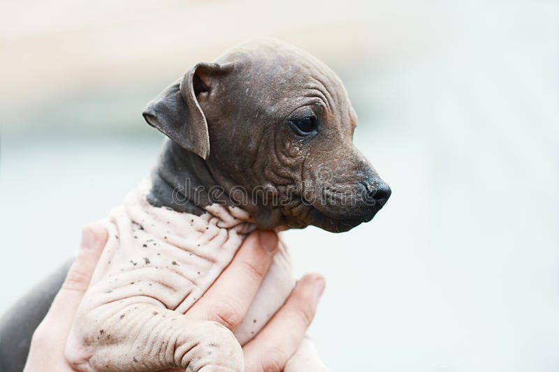 American Hairless Terrier royalty free stock photo