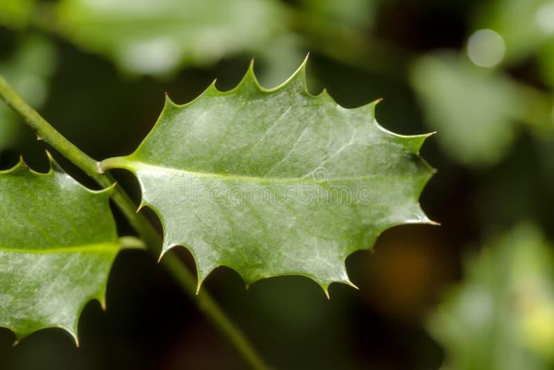 American Holly, liść Ilex opaca zdjęcia stock