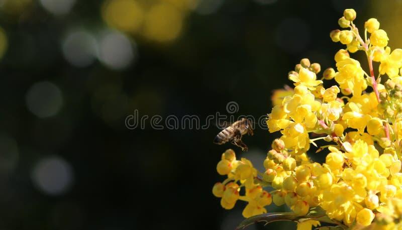 American Honey Bee Hovers toward Oregon Grape royalty free stock image