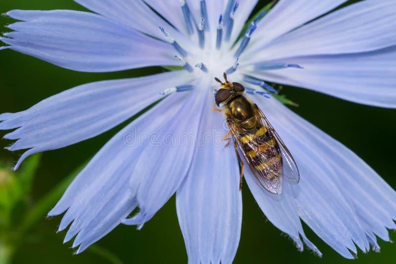 American Hover Fly - Eupeodes americanus images libres de droits