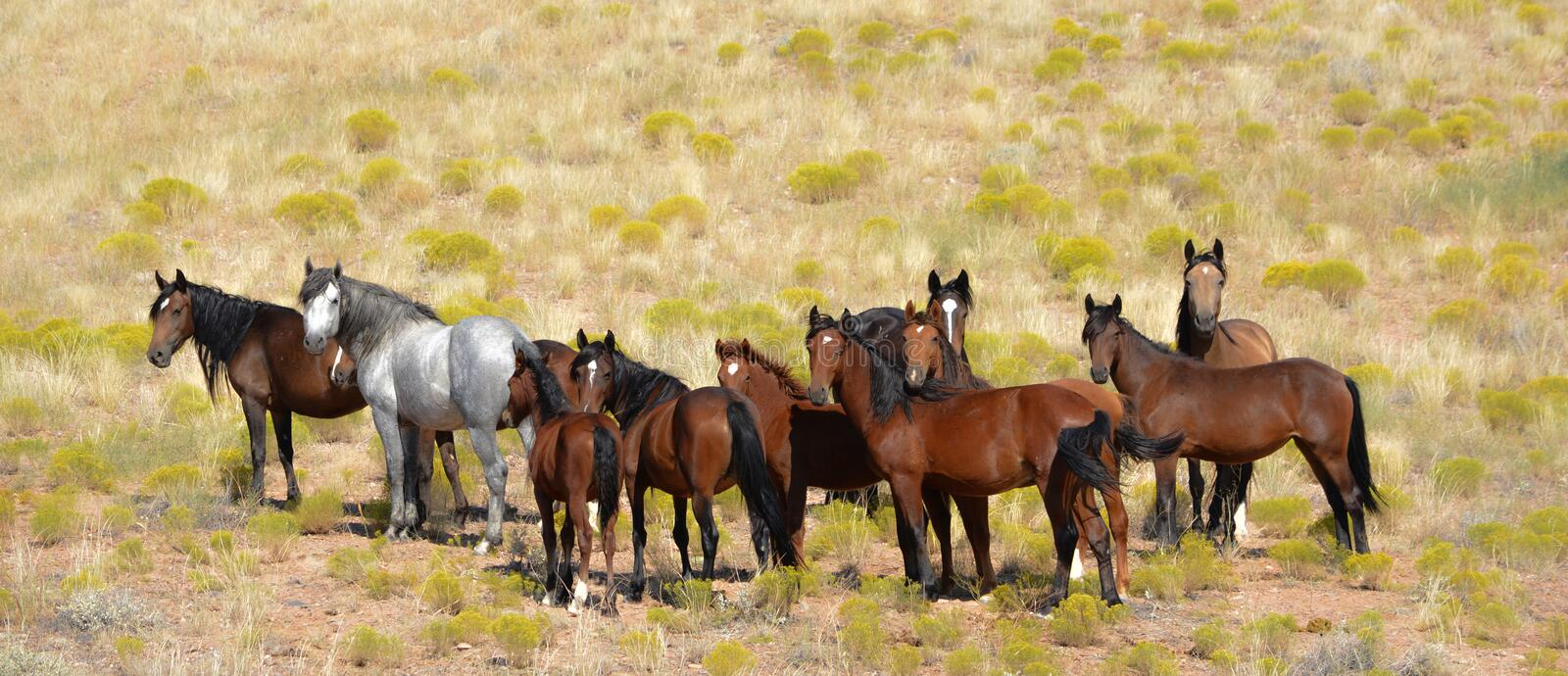 Wild Mustangs on Indian Reservation. American Indian Reservation of the Ute Indian with herd of wild mustangs standing in a field looking at the camera royalty free stock photography