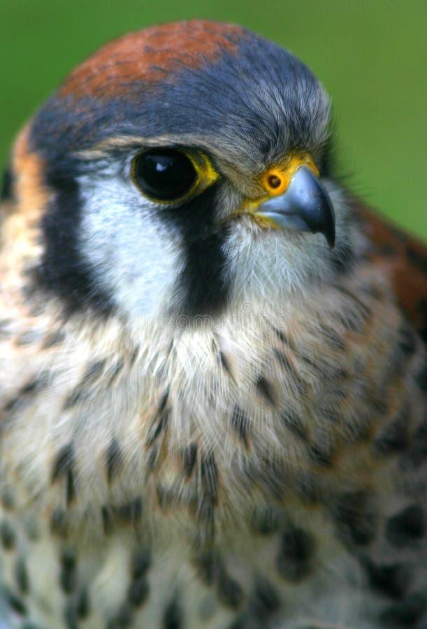Download American Kestrel stock photo. Image of wildlife, american - 108276