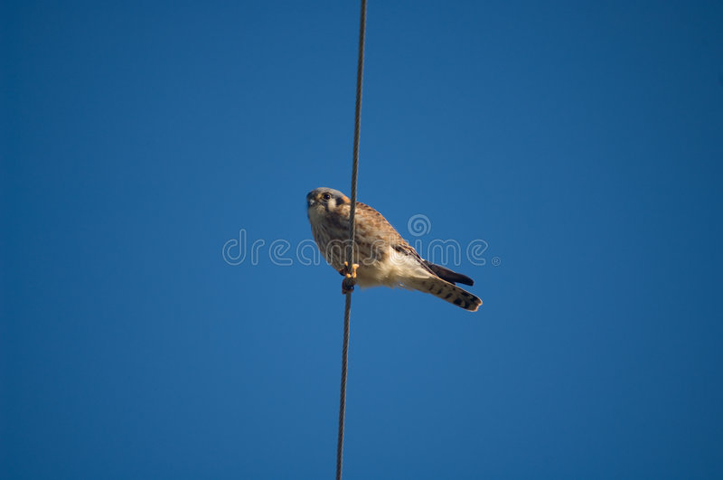 Download American Kestrel stock photo. Image of accipiter, sparverius - 2152072